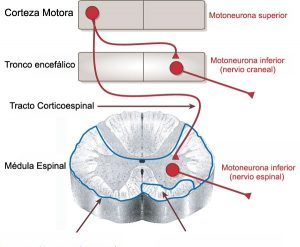 http://1.bp.blogspot.com/-n7Rfhi6YpWs/Ui5wud8StHI/AAAAAAAAAt8/Tu37p1_PtUs/s1600/neurona+superior+inferior.jpg